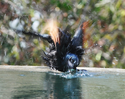 Pamushana-Malilangwe-D300-(1215)-bird-in-pool-adjusted-with-layers1