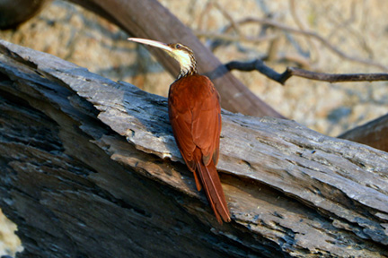 _DSC7130-long-billed-woodcreeper-1218360