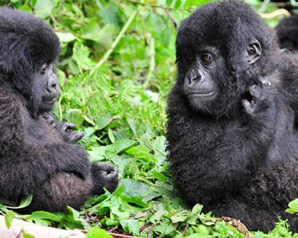_DSC8144-two-gorillas-adjusted-with-layers1