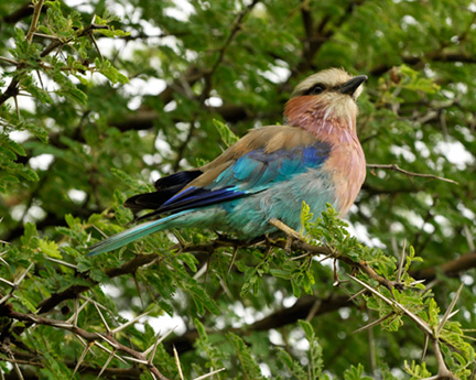 _DSC9521-lilac-breasted-roller-810300
