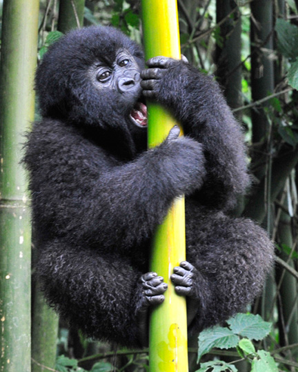 baby-gorilla-climbing-bamboo-original-image-cleaned-up-8x10-vertical1