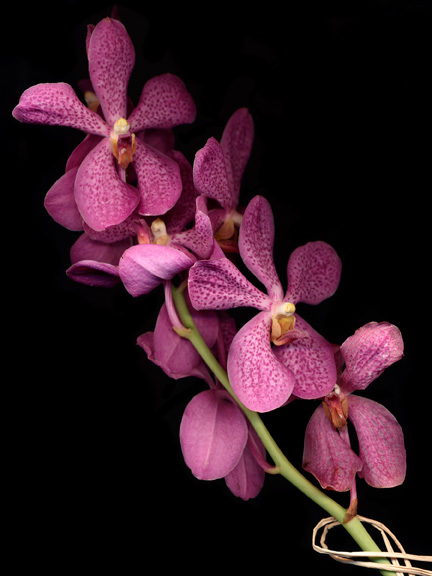 vanda-orchid-use-cleaned-up-68300