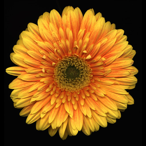 yellow-daisy